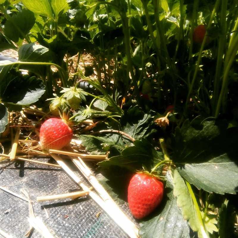 Es gibt Erdbeeren zu pflücken!