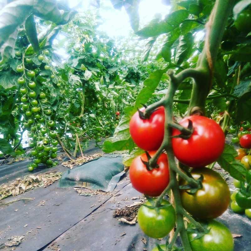 Die Tomatenernte hat begonnen!